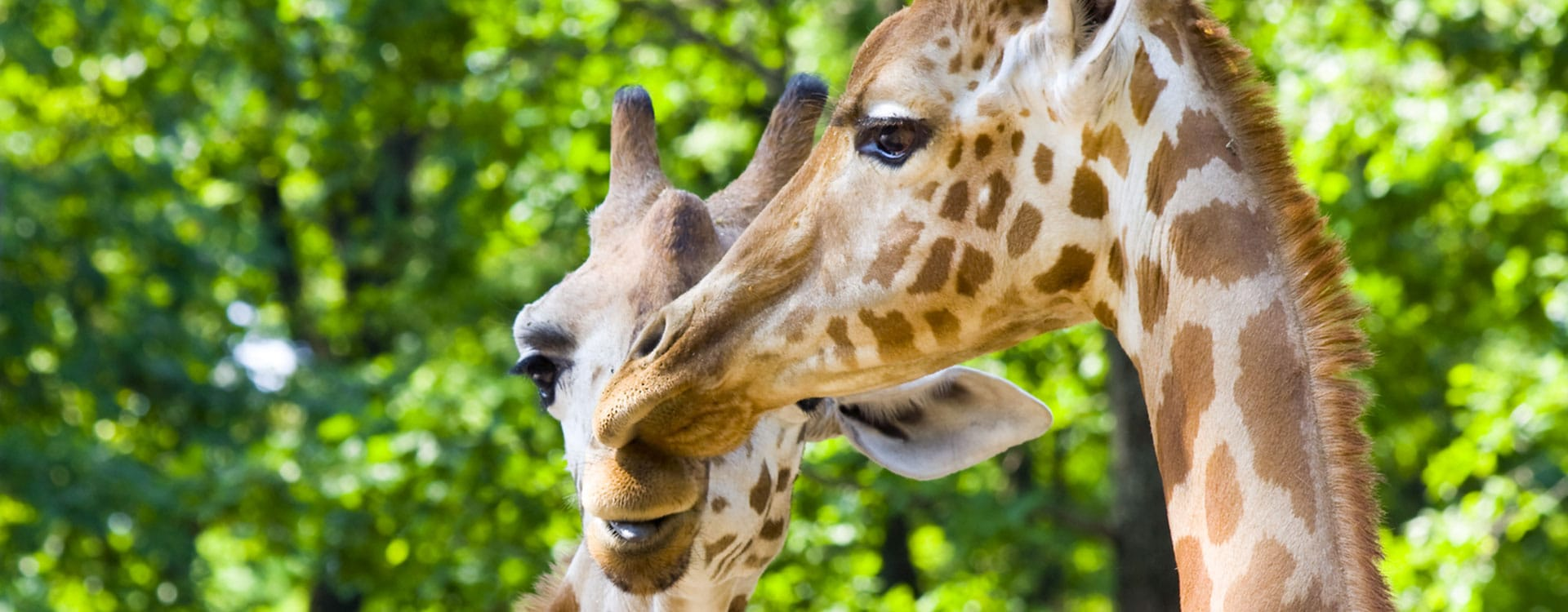 donate-to-save-giraffes-now
