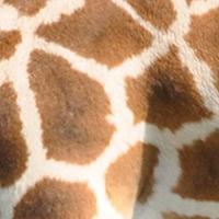 northern-giraffe-pattern