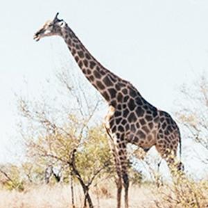 giraffe-repopulation