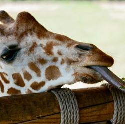 save-giraffes-ruko-conservancy