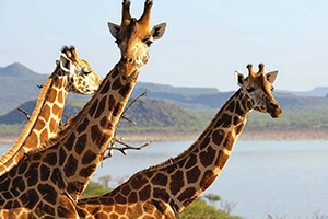 save-giraffes-ruko-conservancy-lake