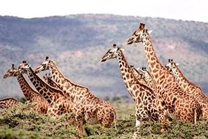 save-giraffes-rapid-response-group