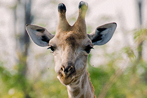 save-giraffes-wildlife-rangers-head