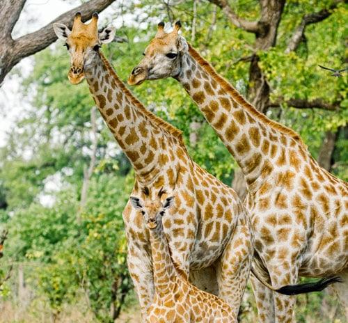 giraffe-facts-family