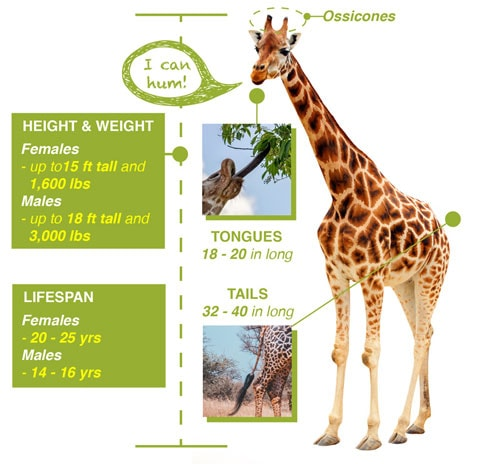 giraffe-infographic-sgn