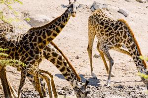 giraffe-orphans