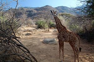 giraffe-orphan