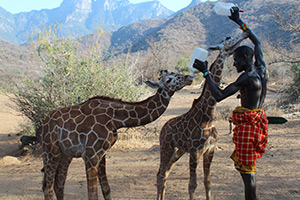 giraffe-orphans-drinking