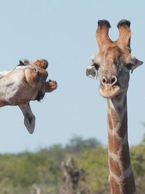 giraffe-photobomb
