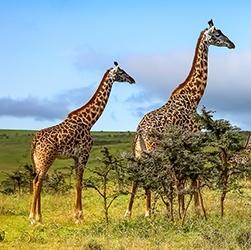 masai-giraffe-conservation